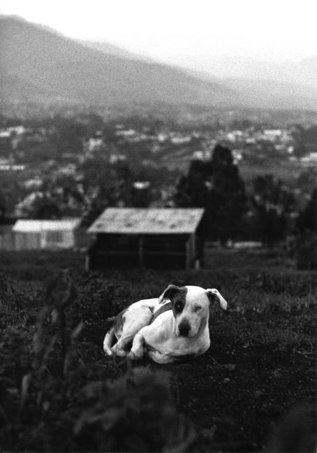 Mustavalkoisessa kuvassa koira makaa nurmikolla. Kauempana koiran takana näkyy taloja ja vuoristoa.