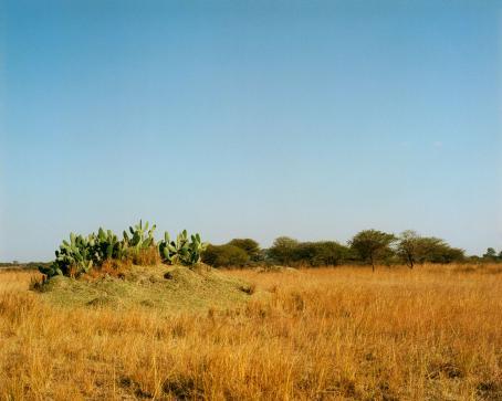Maisema, jossa heinikkoa, kaktuksia, taustalla puita ja sininen taivas.