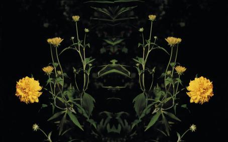 Kasvi jossa on keltaisia kukkia. Kuva on mustaa taustaa vasten peilattu toiselle puolelle.