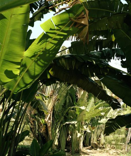 Isoja, vihreitä kasvien lehtiä. Etualalla olevien lehtien takaa paistaa aurinko.