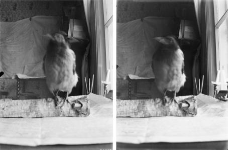 Vierekkäin kaksi mustavalkoista kuvaa, joissa molemmissa varis istuu pöydällä olevan koivuhalon päällä. Varis on epätarkka, mutta taustalla näkyvä huone on tarkka.