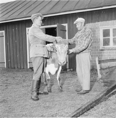Kaksi miestä ja lehmä maatilarakennuksen edessä. Miehet kättelevät ja toinen pitää kiinni lehmän hihnasta.