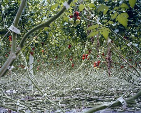 Paljon ristiinrastiin meneviä vihreitä oksia, joiden yläpäässä kasvaa tomaatteja. Osa on vielä vihreitä tai oransseja, osa jo punaisia.