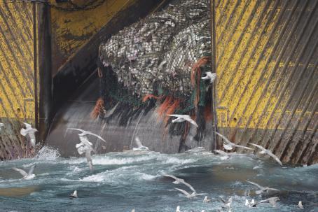 Isoon kalastusalukseen vedetään verkkoa, mikä on täynnä pieniä kaloja. Aluksen perässä lentelee paljon lokkeja.