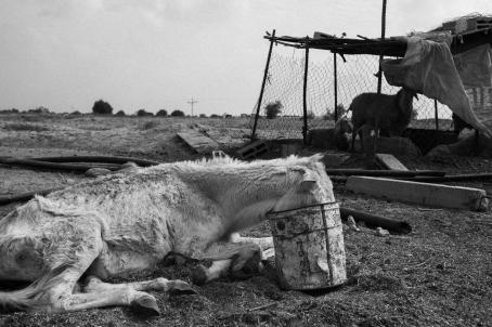 Mustavalkoisessa kuvassa laiha, nälkiintyneen näköinen hevonen makaa maassa pää työnnettynä ämpäriin. Sen takana ränsistyneen näköisessä häkissä on lampaita.