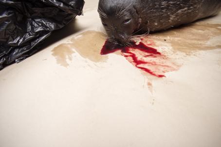 Yläreunassa hylkeen pää ja yläruumis. Päästä valuu verta lattialle. Hylkeen vieressä on musta jätesäkki.