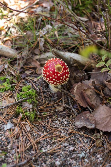 Sienimetsällä on tärkeää tunnistaa myös myrkylliset sienet. Kuva: Virve Laustela, Suomen valokuvataiteen museo