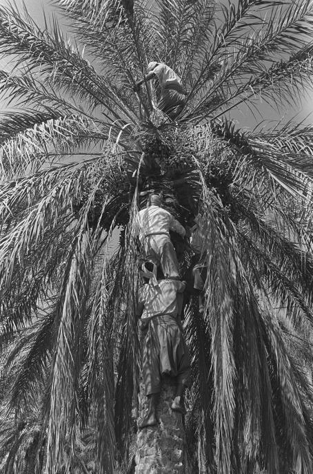 Kalle Kultala: Kekkonen kiipeää palmuun, 1961 / Valokuvataiteen museon kokoelma
