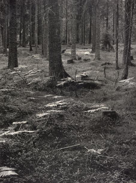 Leena Saraste: Bjärström, Ahvenanmaa, sarjasta Lintumetsät, karjahaat, 1975. Hopeagelatiinivedos. Suomen valokuvataiteen museo