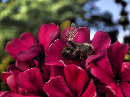 Vaaleanpunaisia kukkia, joista yhdessä on mehiläinen selällään.