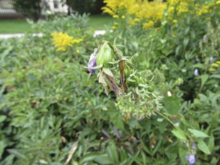 Taustalla vihreitä kasveja ja keltaisia kukkia. Kuva on tarkentunut keskellä olevaan, nahistuneeseen ja lakastuneeseen kukintoon.