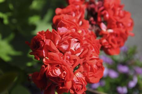Lähikuva punaisesta kukasta.