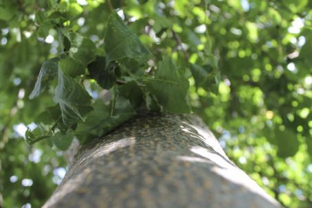 Puunrunkoa vasten otettu kuva ylöspäin lehvästöön. Puun vihreät lehdet näkyvät epäterävinä.