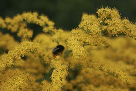 Keltaisia kukkia, osa tarkkoja, osa epätarkkoja. Keskellä on epätarkka mehiläinen.