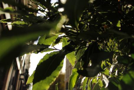 Puun tai pensaan vihreitä lehtiä. Osa on varjossa, osan läpi paistaa aurinko. Lehtien takana näkyy rakennus epäselvänä.