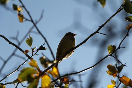 Puunoksalla vasten sinistä taivasta istuu pikkulintu. Lintu näkyy tummana hahmona, kuva on otettu alaviistosta.