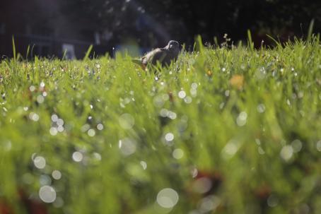 Nurmikolla pikkulintu. Kuva on otettu maan tasalta, etualalla olevat ruohonkorret näkyvät isoina ja niissä olevat vesipisarat näkyvät harmaina ympyröinä.