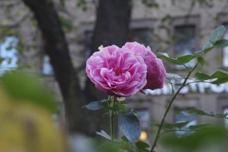 Kuvan keskellä kaksi vaaleanpunaista ruusua. Etualalla vihreitä ruusujen lehtiä, taaempana puu ja rakennuksen seinää. Kaikki muu paitsi ruusut on epäterävää.