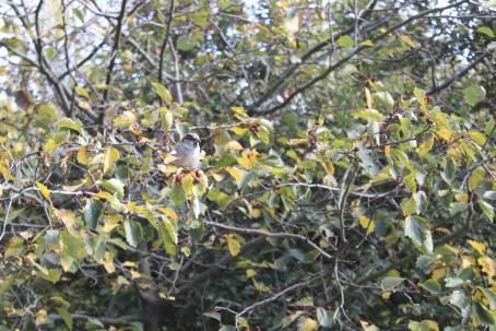 Puun oksalla istuu ruskea pikkulintu. Puussa kasvaa punaisia marjoja.