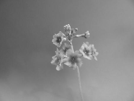 Kaisaniemen kasvitieteellisessä puutarhassa kuvattu lähikuva kukasta. Kuva on mustavalkoinen.
